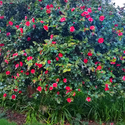 The giant Camellias at Endicott Gardens! - <p>Enjoy the beautiful flowers years round at Endicott Gardens...this is a beautiful flowering Winter Camellia that is over 15 feet tall!</p>