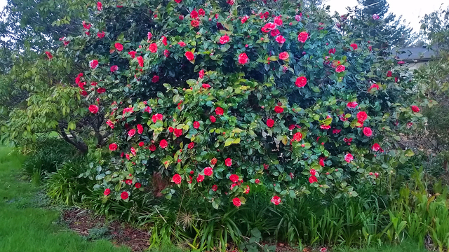 The giant Camellias at Endicott Gardens!